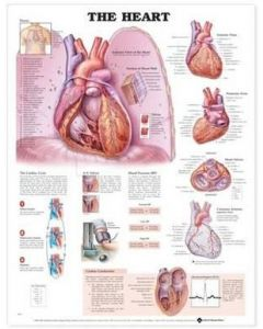 The Heart Anatomical Chart Paper Unmounted